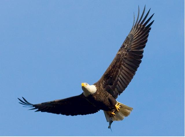 bald-eagle-529664_640