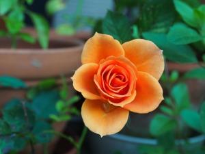 rose-115646_1280
