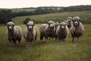 sheep-690371_1920